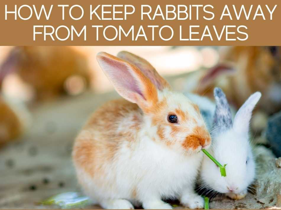 How To Keep Rabbits Away From Tomato Leaves