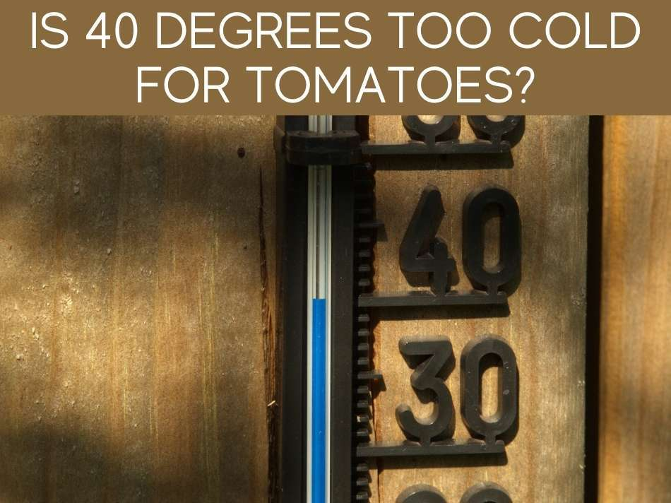 Is 40 Degrees Too Cold For Tomatoes?