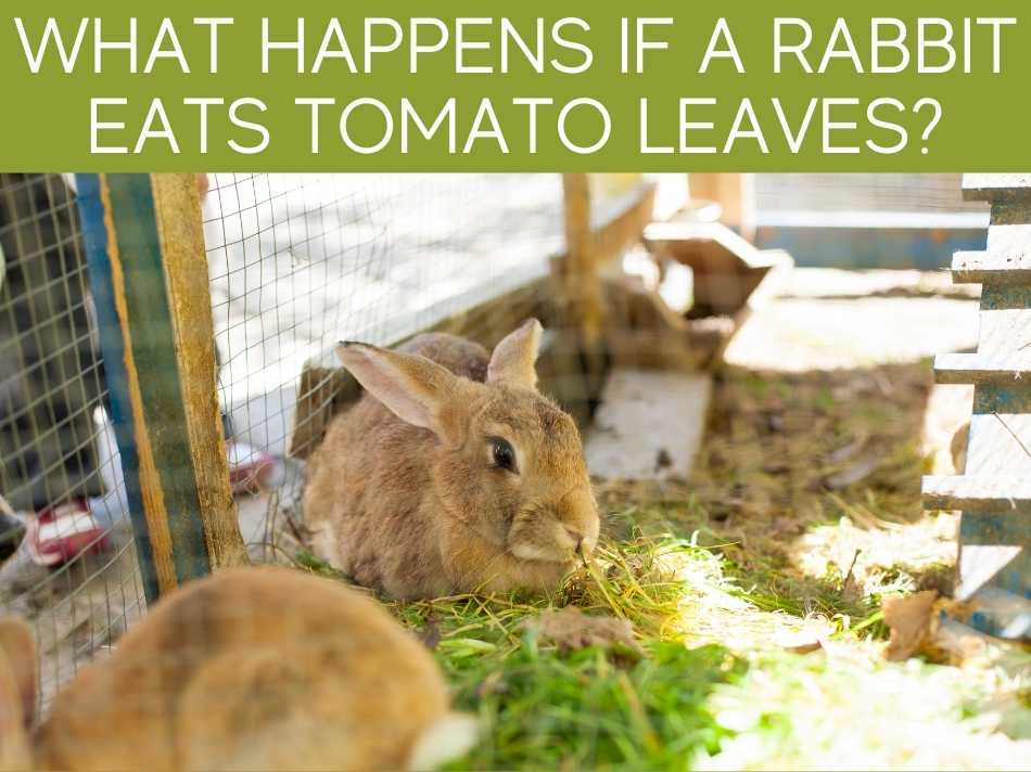 What Happens If A Rabbit Eats Tomato Leaves?