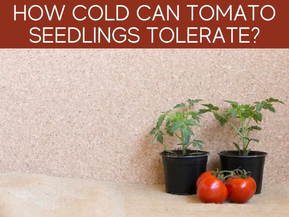 How Cold Can Tomato Seedlings Tolerate?
