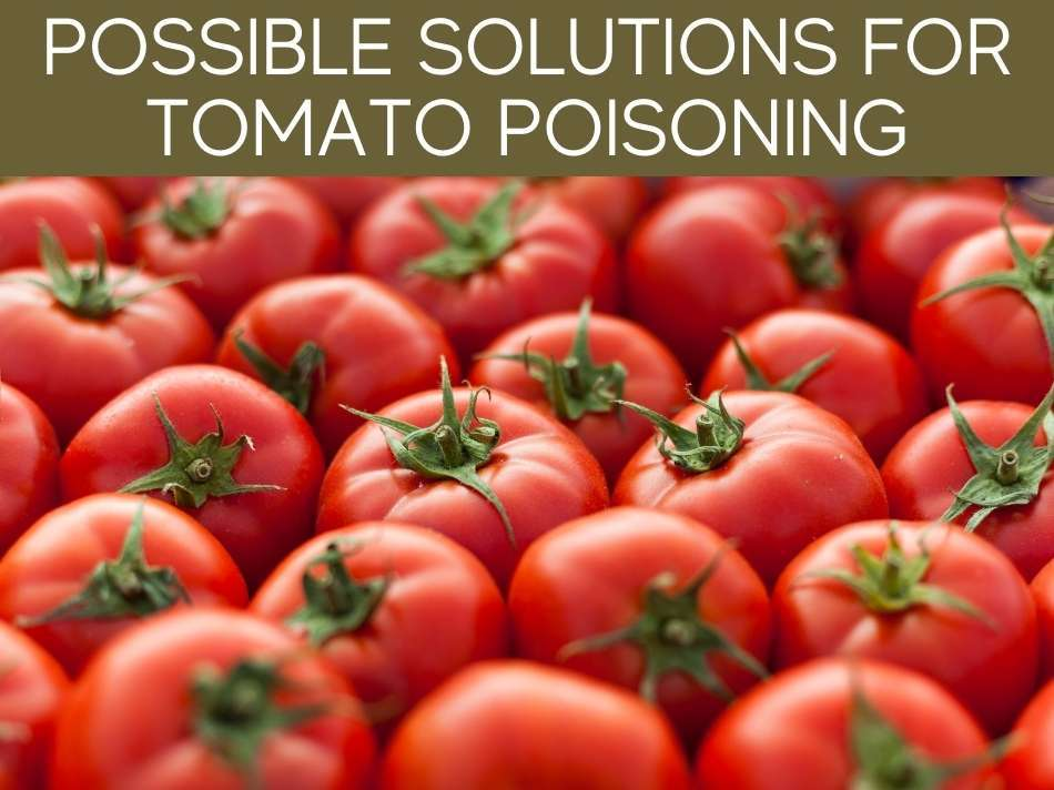 Possible Solutions For Tomato Poisoning