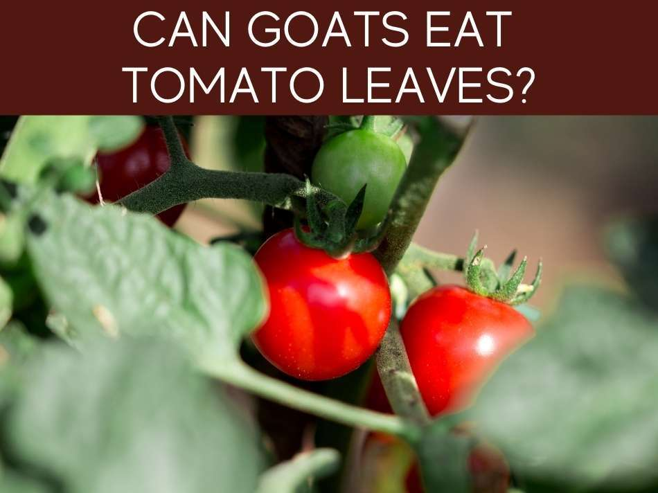 Can Goats Eat Tomato Leaves?
