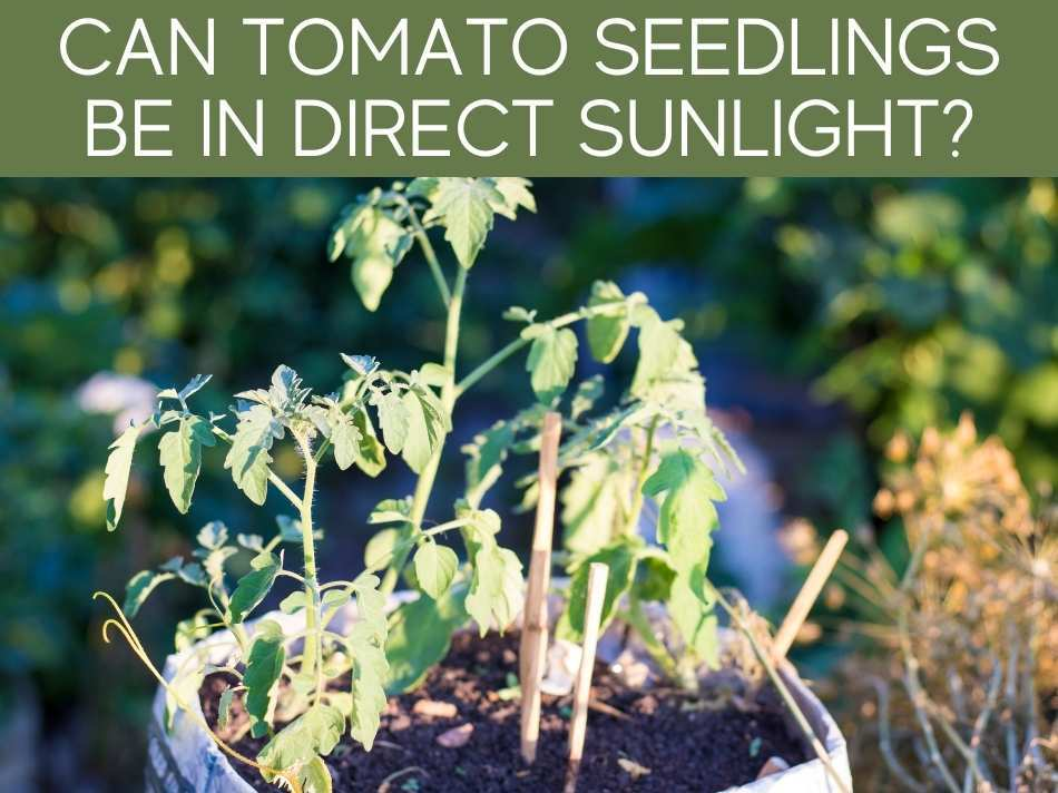 Can Tomato Seedlings Be In Direct Sunlight?