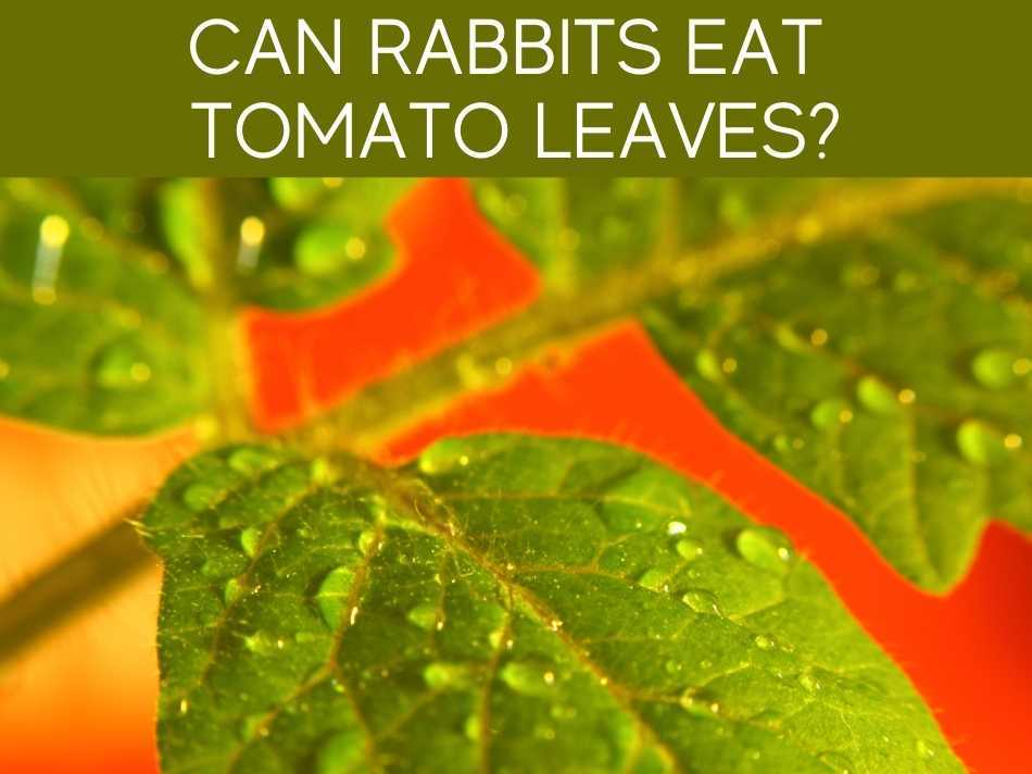 Can Rabbits Eat Tomato Leaves?