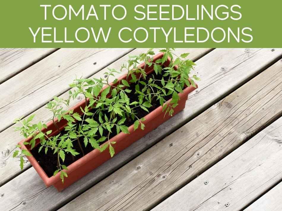 Tomato Seedlings Yellow Cotyledons