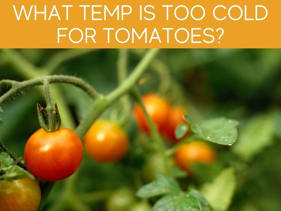 What Temp Is Too Cold For Tomatoes?