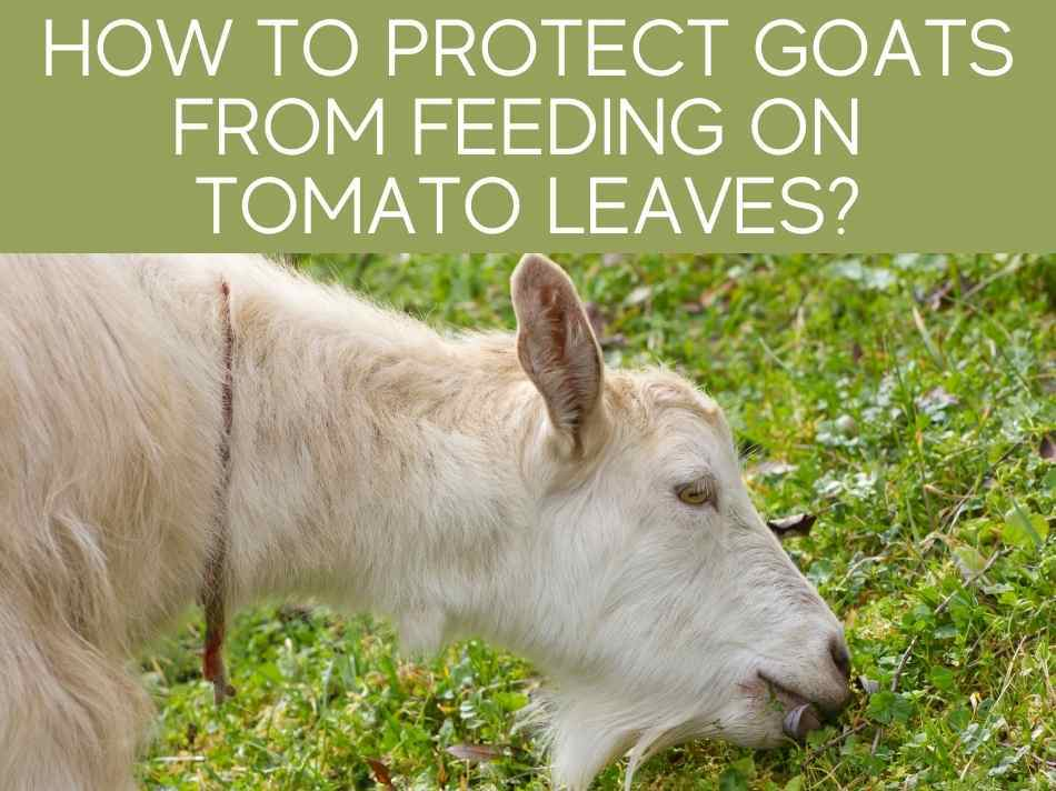 How To Protect Goats From Feeding On Tomato Leaves?