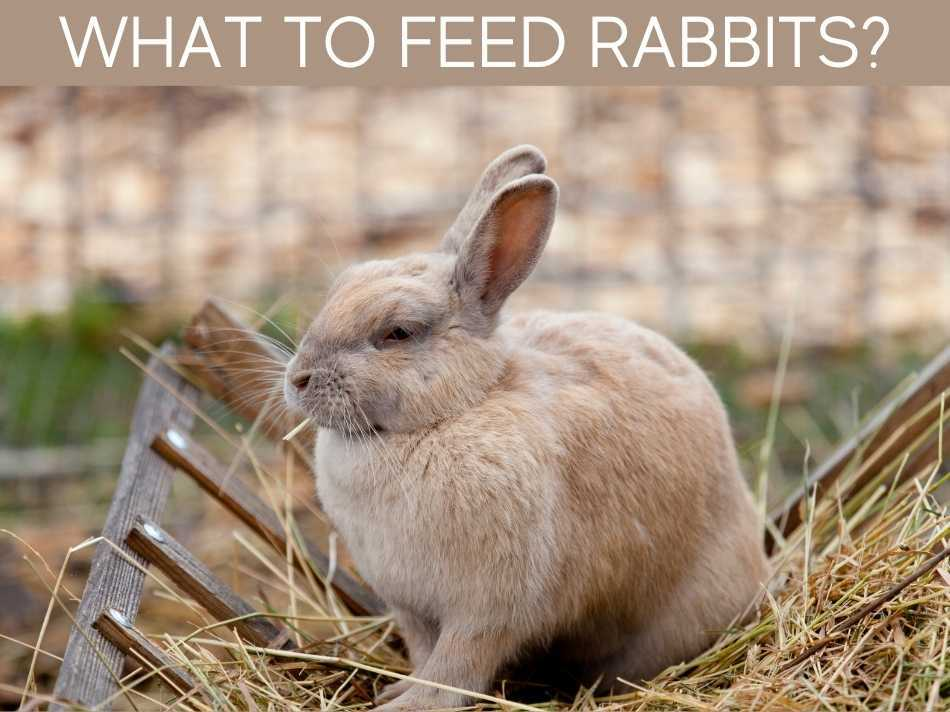 What To Feed Rabbits?
