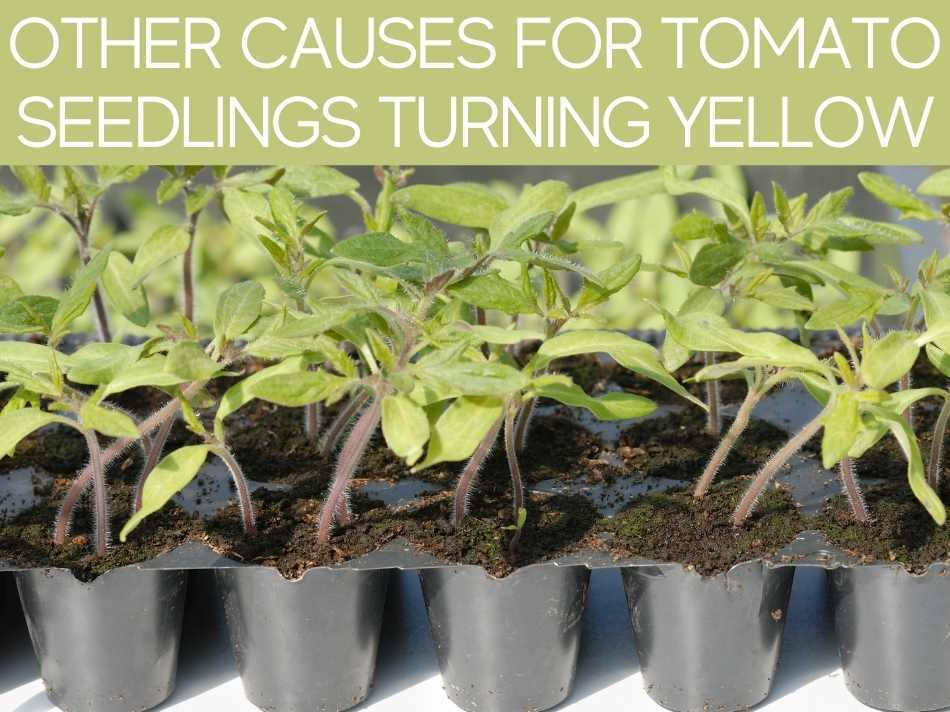Other Causes For Tomato Seedlings Turning Yellow