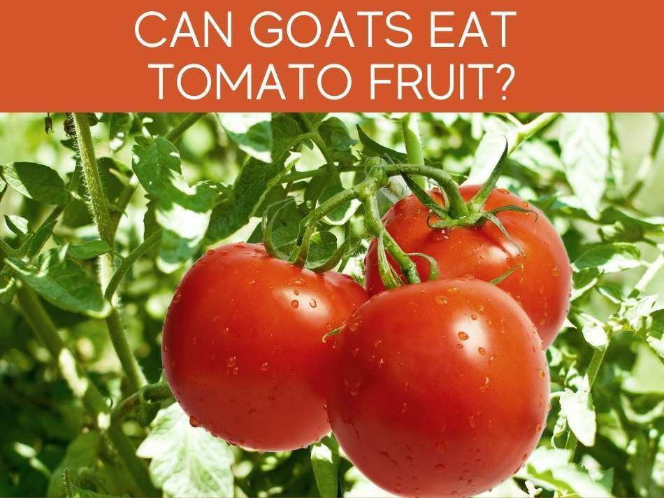 Can Goats Eat Tomato Fruit?