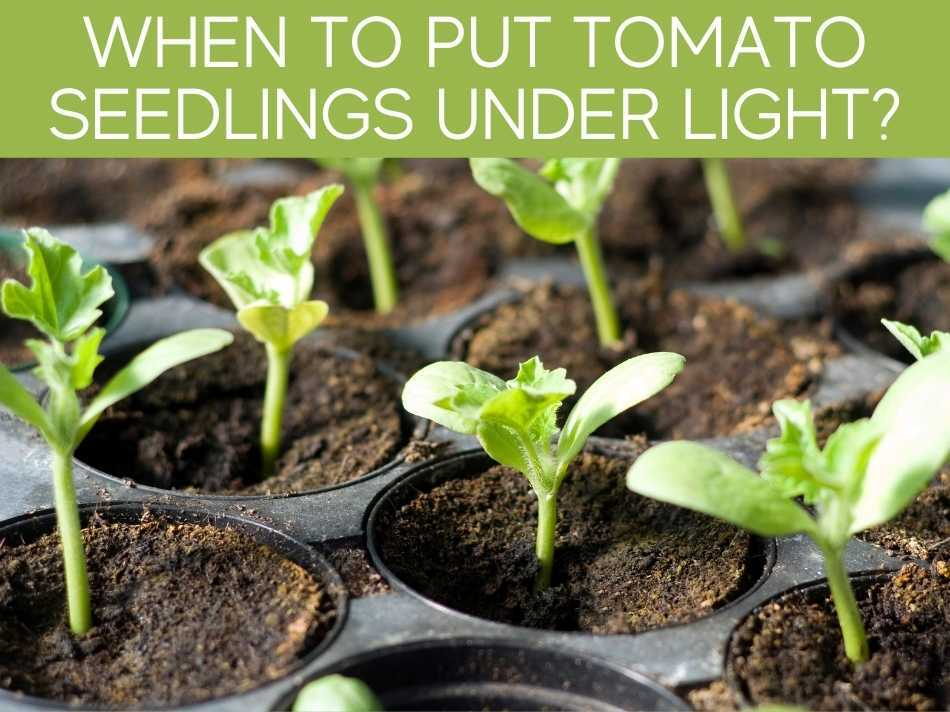 When To Put Tomato Seedlings Under Light