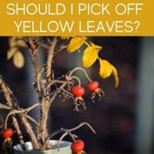 Should I Pick Off Yellow Leaves?
