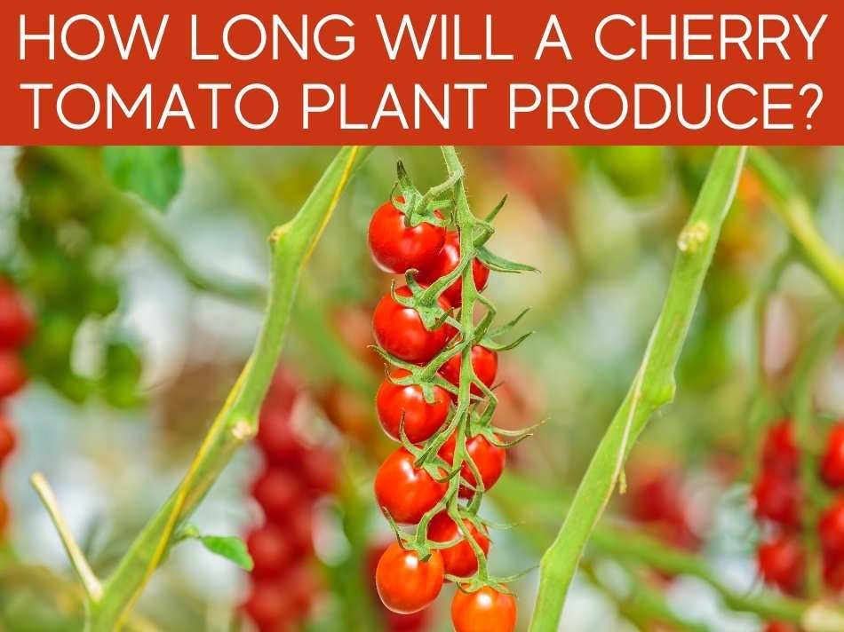 How Long Will A Cherry Tomato Plant Produce?