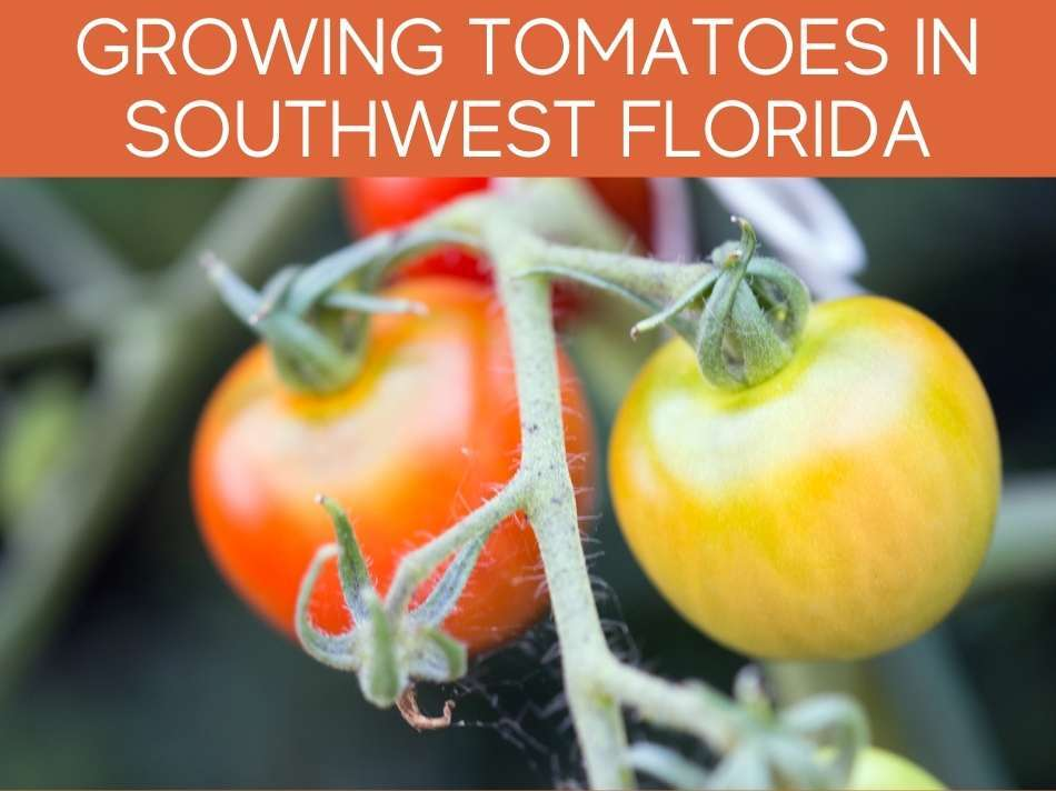 Growing Tomatoes In Southwest Florida
