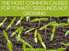 The Most Common Causes For Tomato Seedlings Not Growing