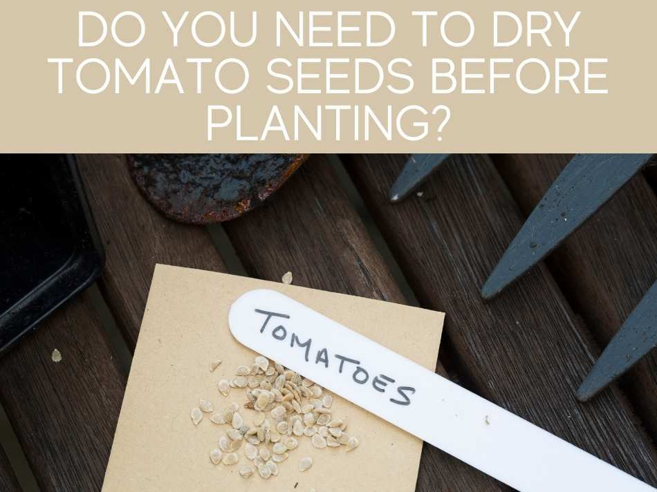 Do You Need To Dry Tomato Plants Before Planting?