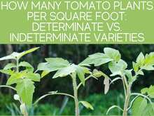 How Many Tomato Plants Per Square Foot: Determinate Vs. Indeterminate Varieties