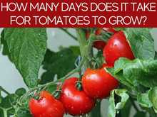 How Many Days Does It Take For Tomatoes To Grow?