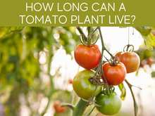 How Long Can A Tomato Live?