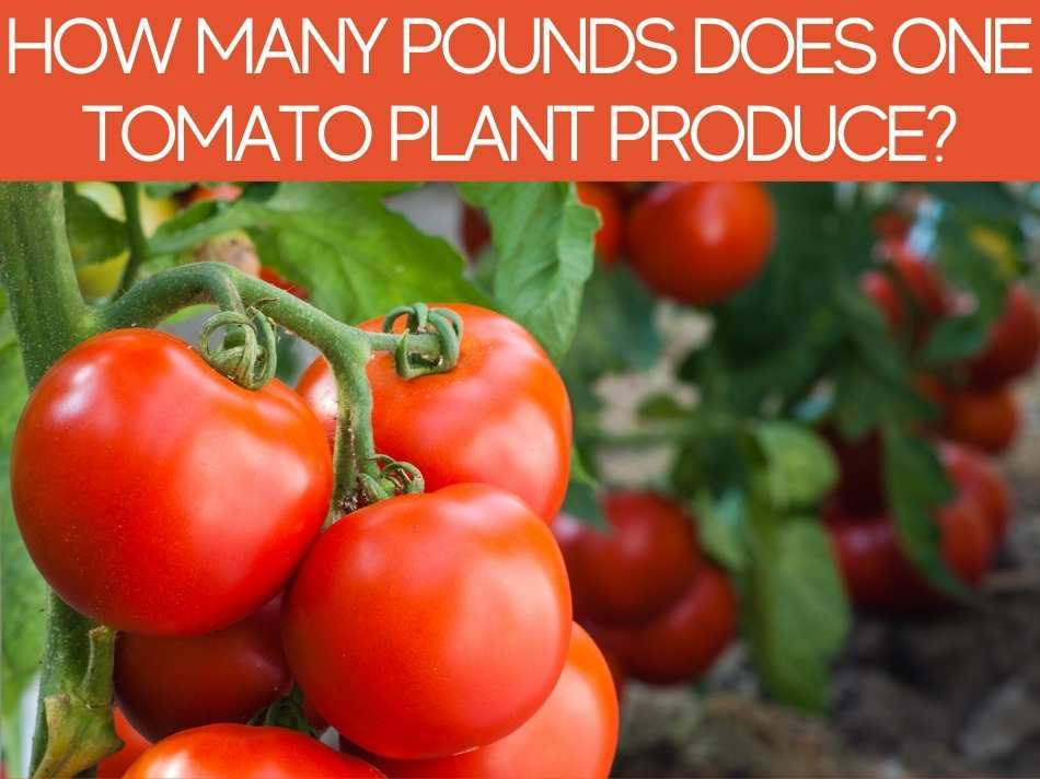 How Many Pounds Does One Tomato Plant Produce?