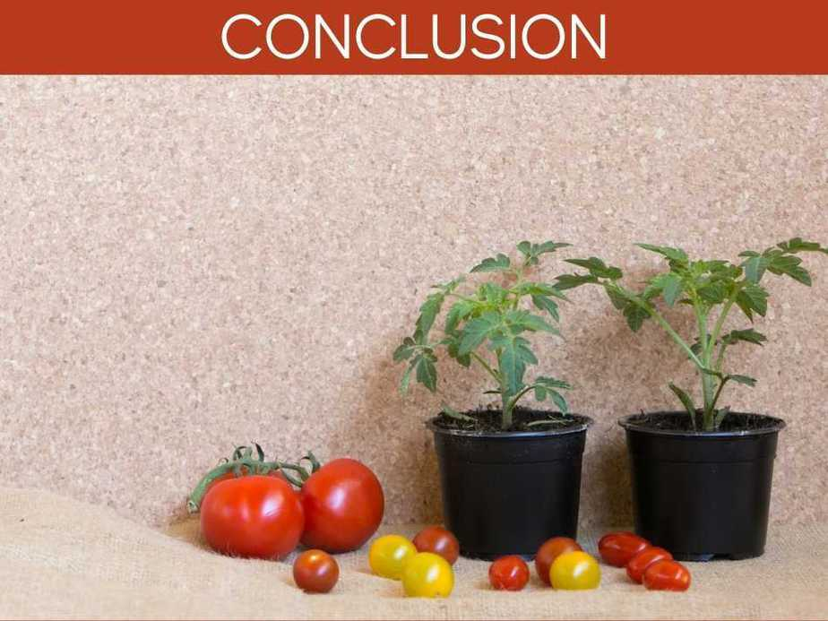 How Long Will Tomato Plants Produce?