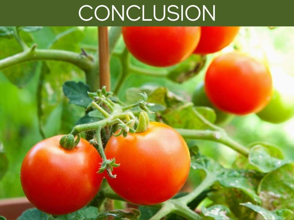 Can You Grow Tomatoes In South Florida?