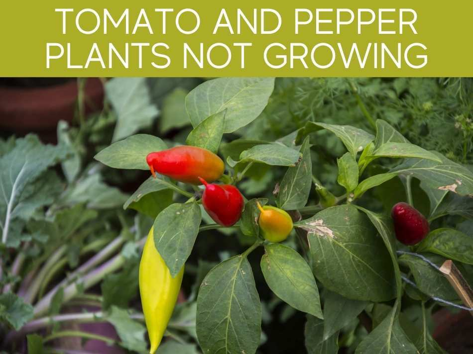 Tomato And Pepper Plants Not Growing