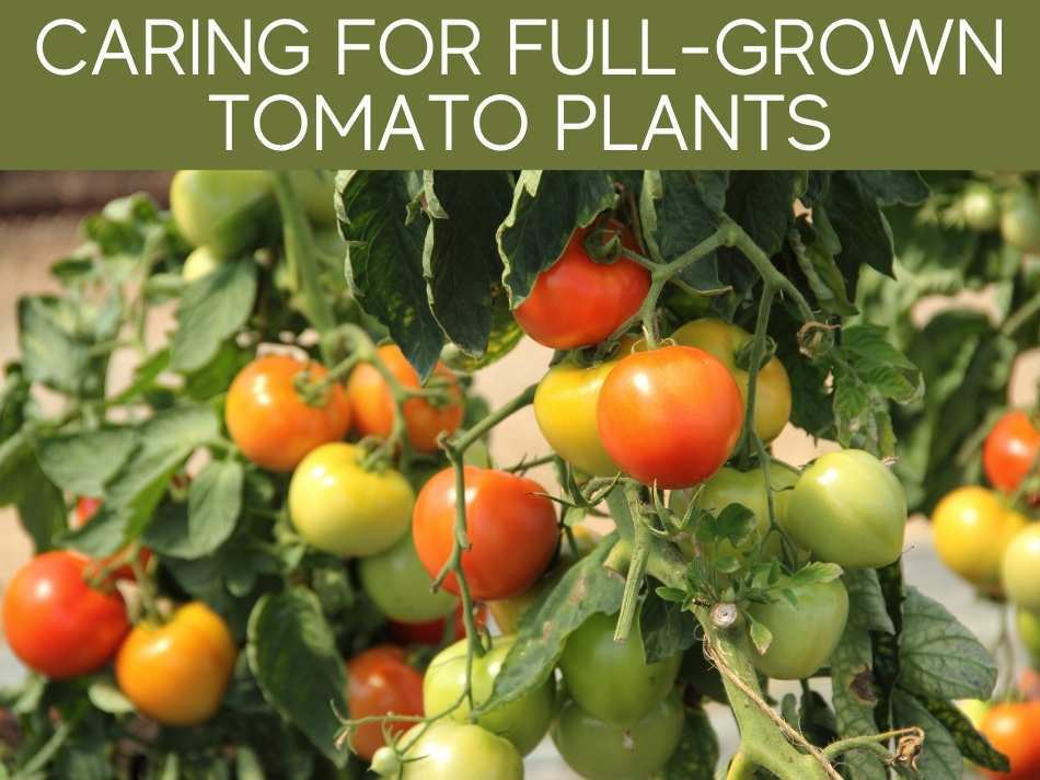 Caring For Full-Grown Tomato Plants