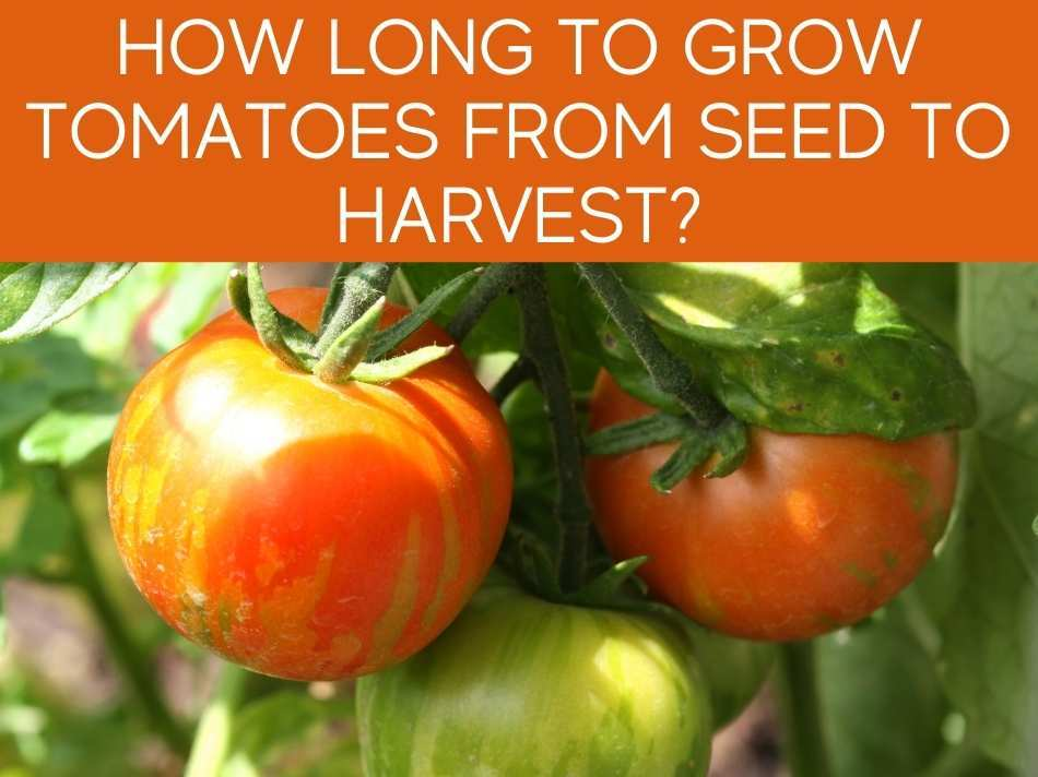 How Long To Grow Tomatoes From Seed To Harvest?