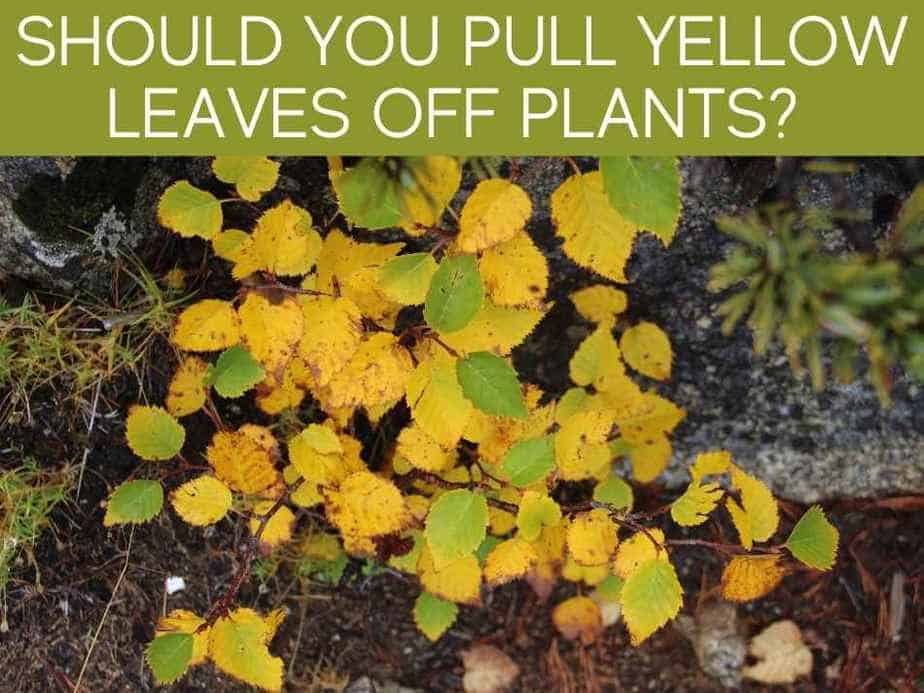 Should You Pull Yellow Leaves Off Plants?