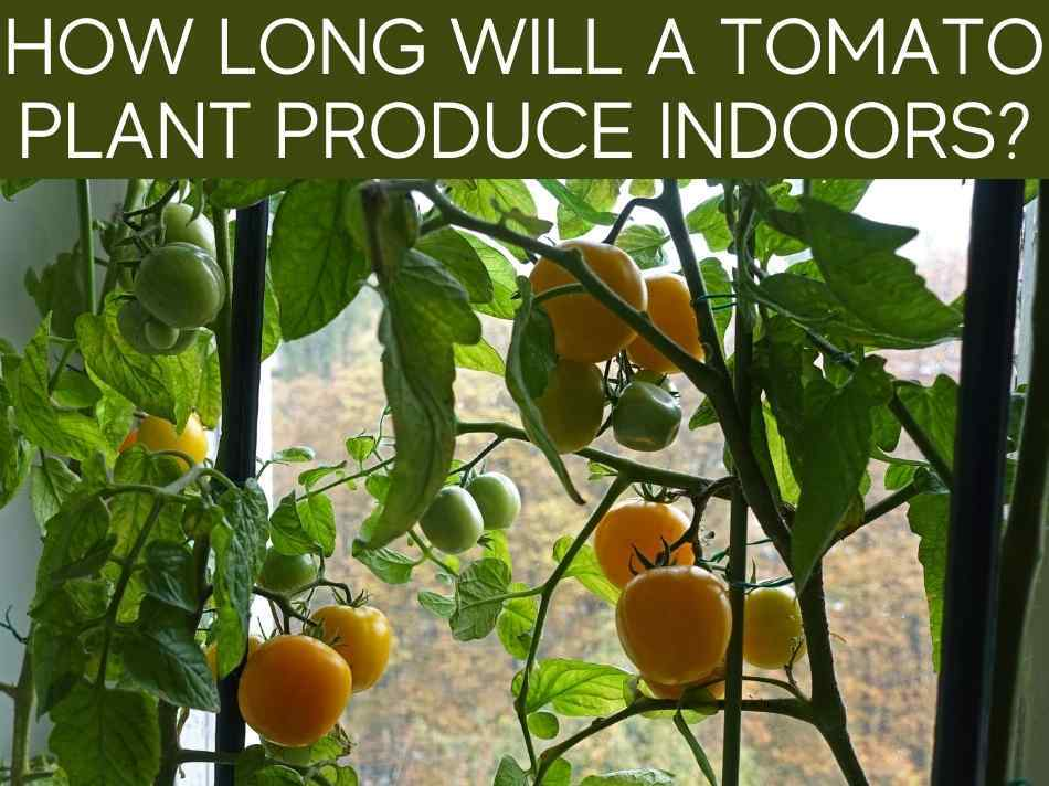 How Long Will A Tomato Plant Produce Indoors?