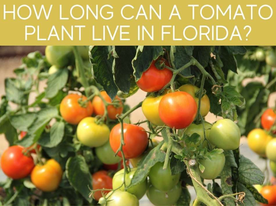 How Long Can A Tomato Plant Live In Florida?