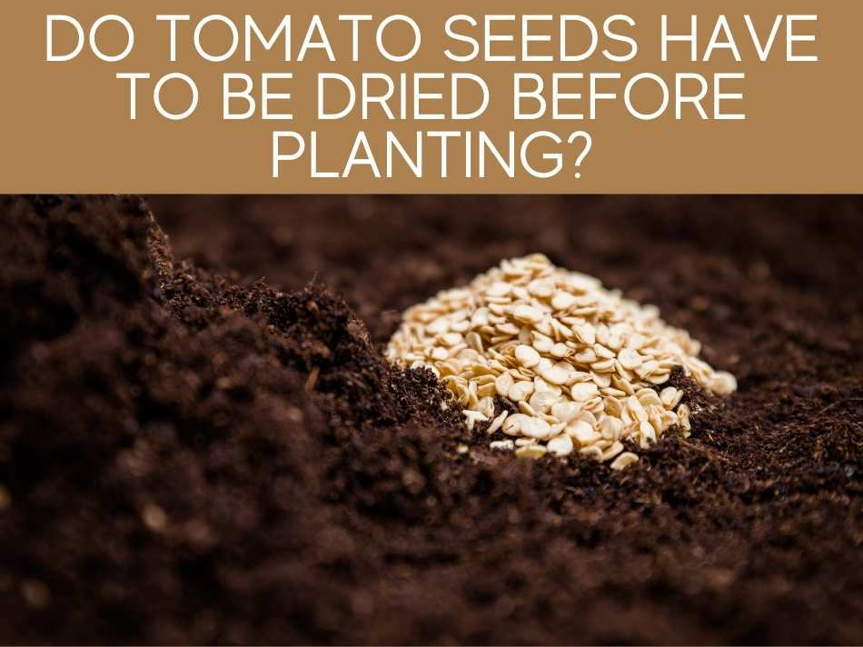 Do Tomato Seeds Have To Be Dried Before Planting?