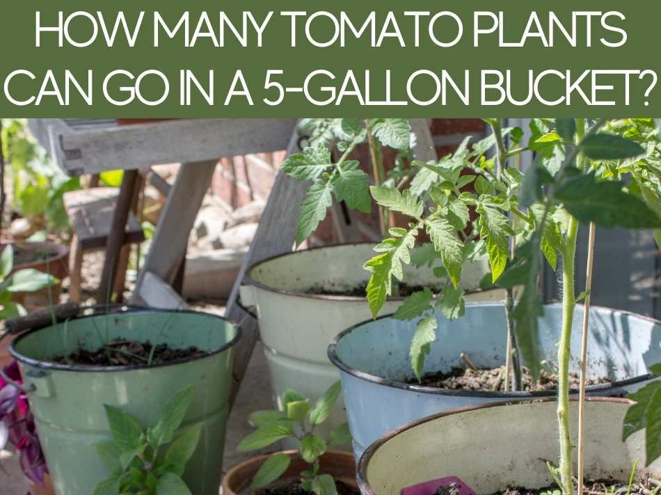 How Many Tomato Plants Can Go In A 5-Gallon Bucket?