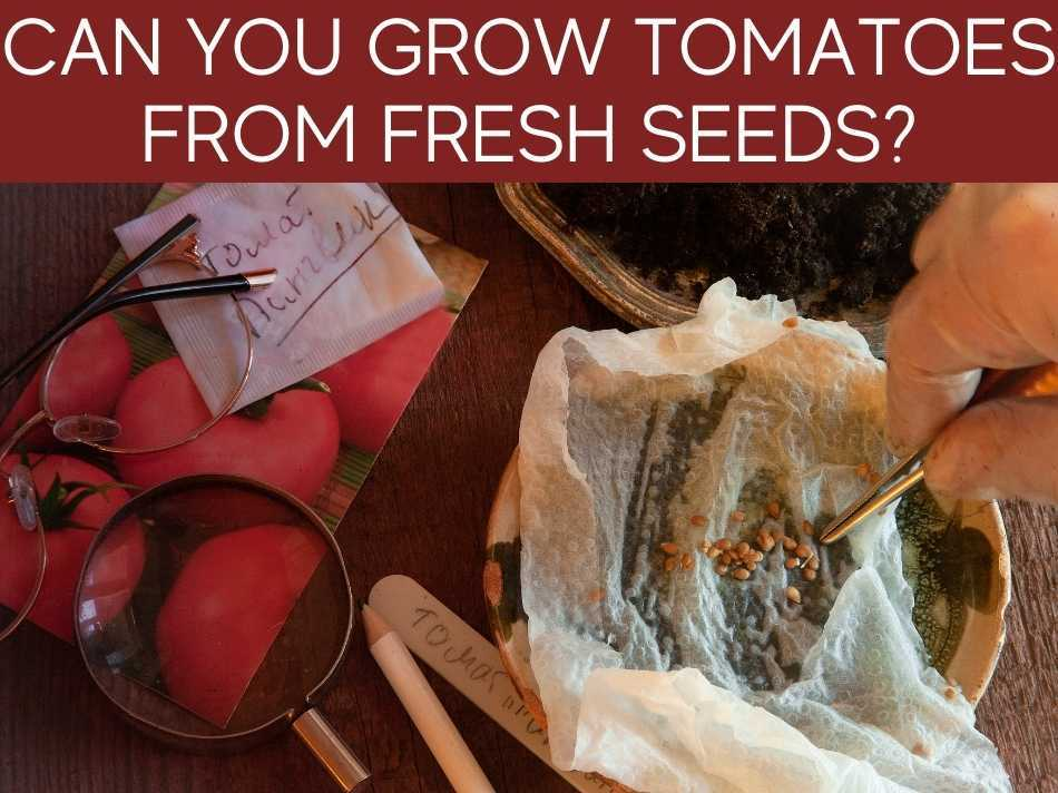 Can You Grow Tomatoes From Fresh Seeds?