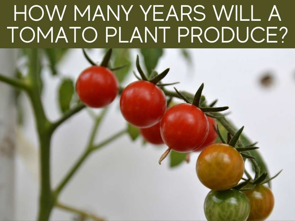 How Many Years Will A Tomato Plant Produce?