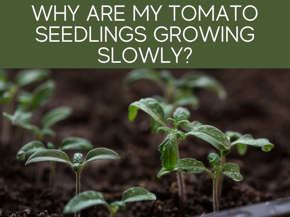 Why Are My Tomato Seedlings Growing Slowly?