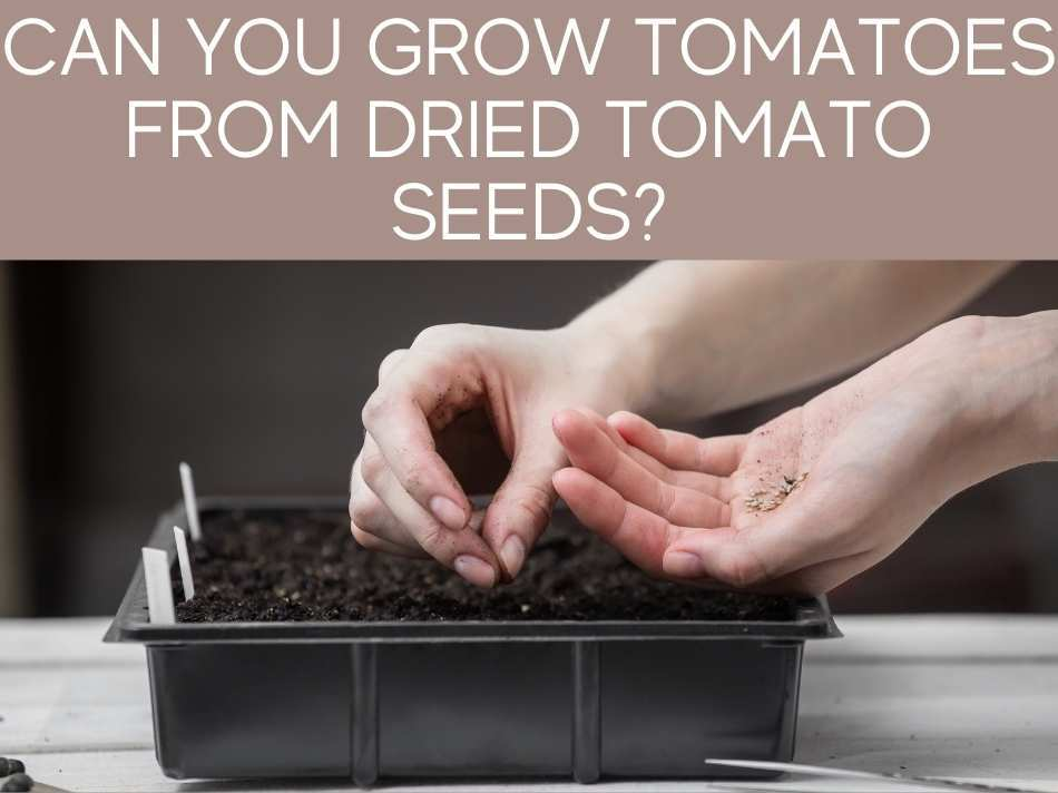 Can You Grow Tomatoes From Dried Tomato Seeds?