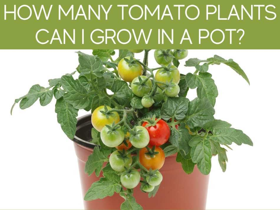 How Many Tomato Plants Can I Grow In A Pot?