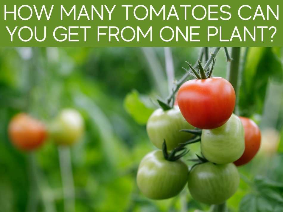 How Many Tomatoes Can You Get From One Plant?