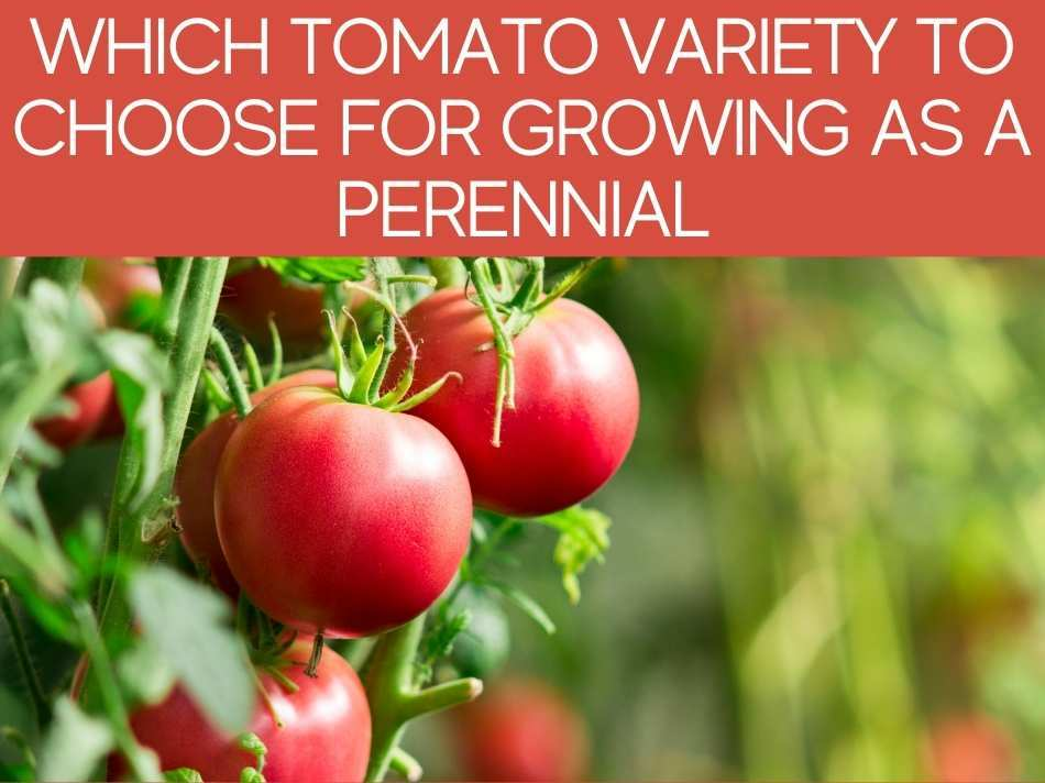Which Tomato Variety To Choose For Growing As A Perennial