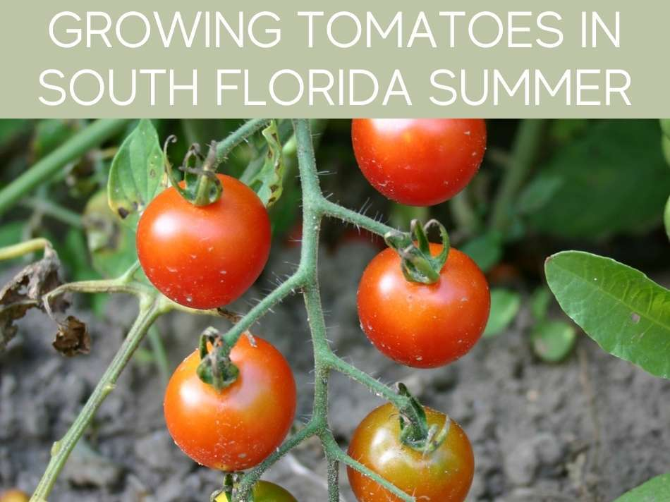 Growing Tomatoes In South Florida Summer
