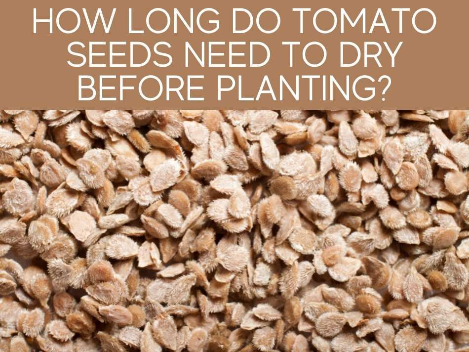 How Long Do Tomato Seeds Need To Dry Before Planting?