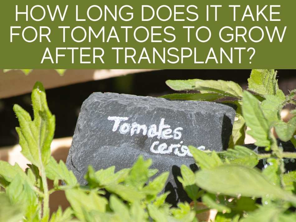 How Long Does It Take For Tomatoes To Grow After Transplant?