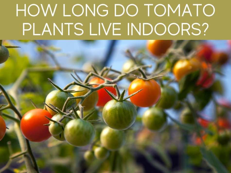 How Long Do Tomato Plants Live Indoors?