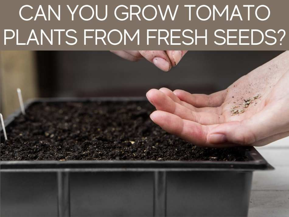 Can You Grow Tomato Plants From Fresh Seeds?