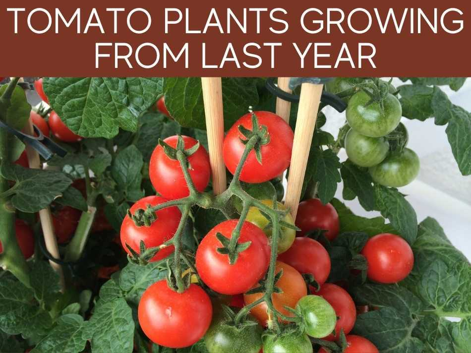 Tomato Plants Growing From Last Year
