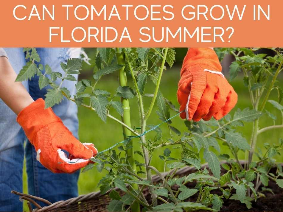 Can Tomatoes Grow In Florida Summer?