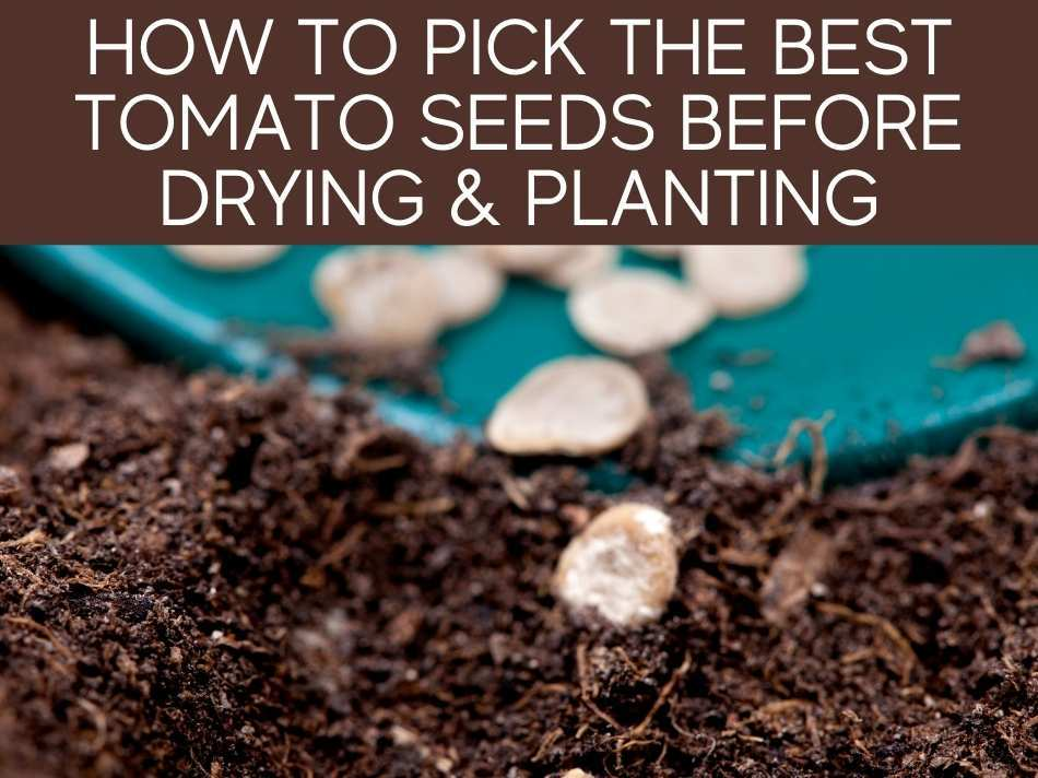 How To Pick The Best Tomato Seeds Before Drying & Planting