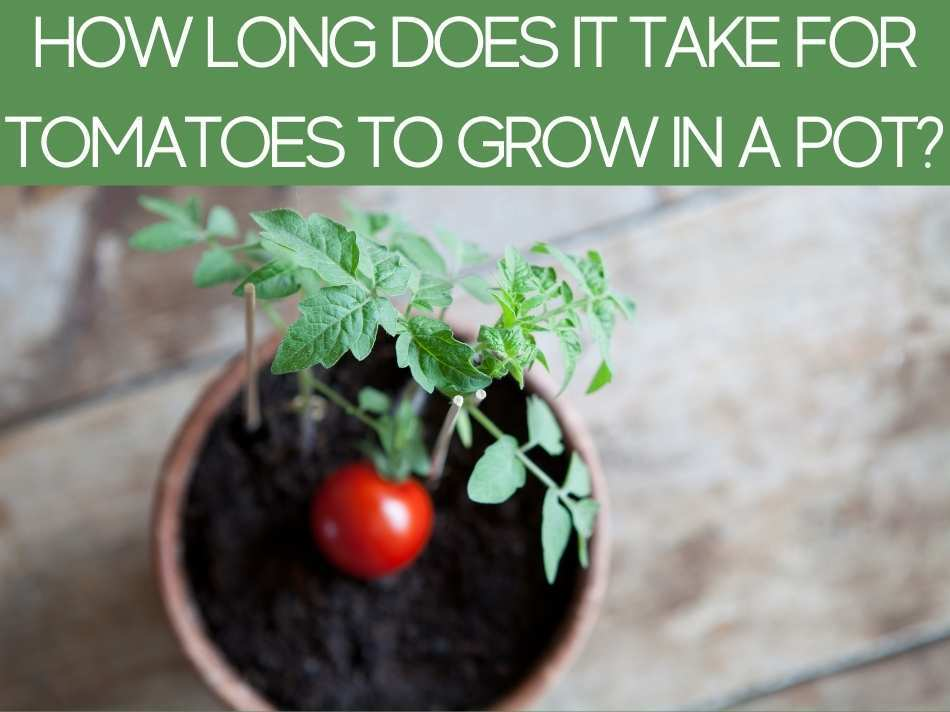 How Long Does It Take For Tomatoes To Grow In A Pot?